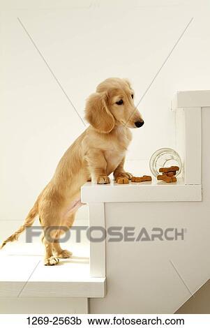 Banco de Fotografías - dachshund, perrito, en, el, pasos, y, el ...