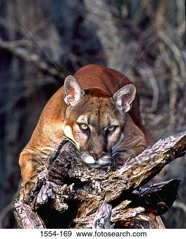 351c5f764ab Stock Photo - Florida panther (Puma concolor coryi) on a tree stump,  Everglades