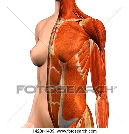 Stock Photograph Of Cross Section Anatomy Of Female Chest And