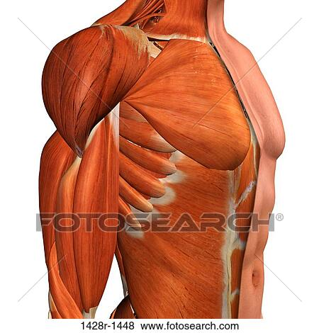 Pictures Of Cross Section Anatomy Of Male Chest Abdomen And Groin