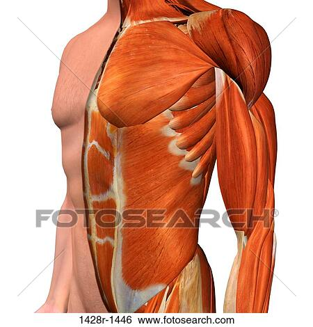 Stock Images Of Cross Section Anatomy Of Male Chest Abdomen And