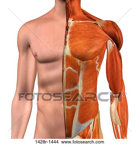 Stock Photo Of Cross Section Anatomy Of Male Chest Abdomen And