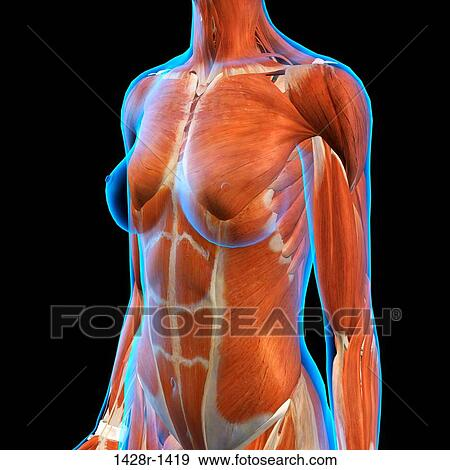 Female Chest And Abdominal Muscles Anatomy In Blue X Ray Outline