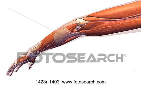 Stock Photo of Female elbow and forearm muscular anatomy, back ...