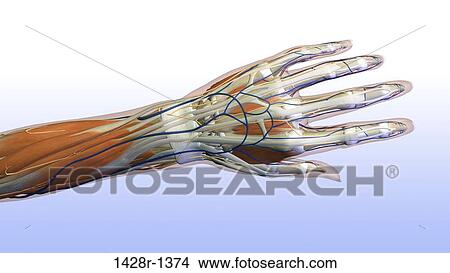 Stock Photo Of Female Hand And Wrist Anatomy Back Posterior View
