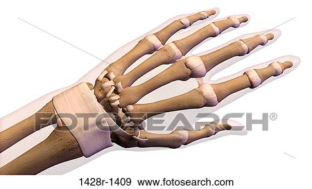 Stock Photograph of Female palm and wrist, anterior view. Close up ...