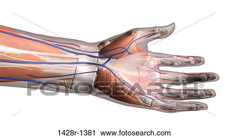 Stock Photography Of Female Palm And Wrist Anterior View Close Up