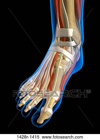 Stock Image Of Front View X Ray Of Female Ankle And Foot Bones