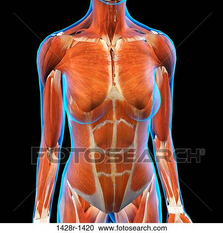 Frontal View Of Female Chest And Abdominal Muscles Anatomy In Blue X