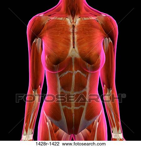 Stock Photo of Frontal View of Female Chest and Abdominal Muscles ...