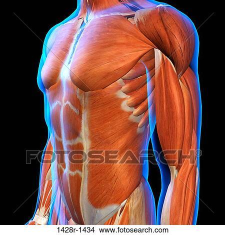 Colección de foto - frontal, vista, de, macho, pecho, y, músculos ...