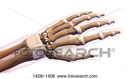 Fotos - hembra, huesos, de, mano, muñeca, pulgar, y, dedos, anatomía ...