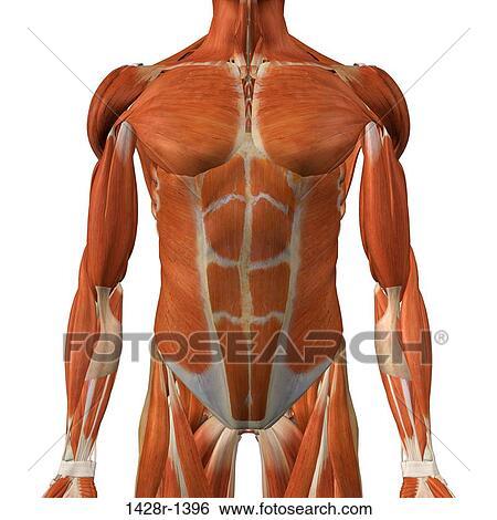 Colección de imágenes - macho, pecho, y, músculos abdominales ...