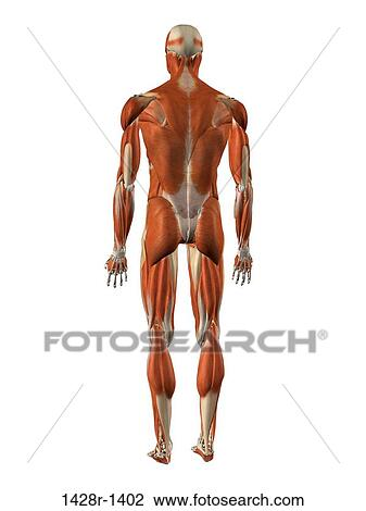 Stock Photo of Male back and rear muscles, detailed anatomy 1428r ...