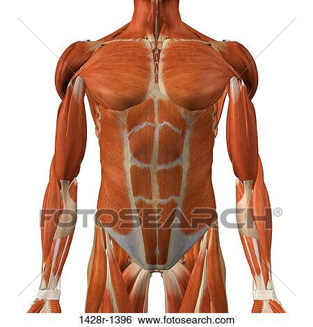Stock Images Of Male Chest And Abdominal Muscles Detailed Anatomy