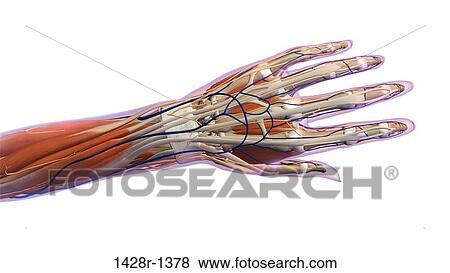 Fotos - mano femenina, y, muñeca, anatomía, espalda, vista posterior ...
