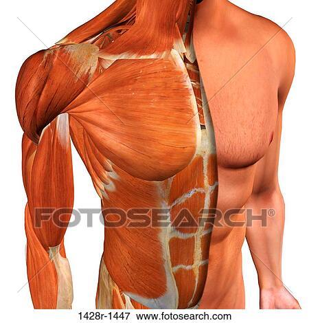 Foto - sección transversal, anatomía, de, macho, pecho, abdomen, y ...