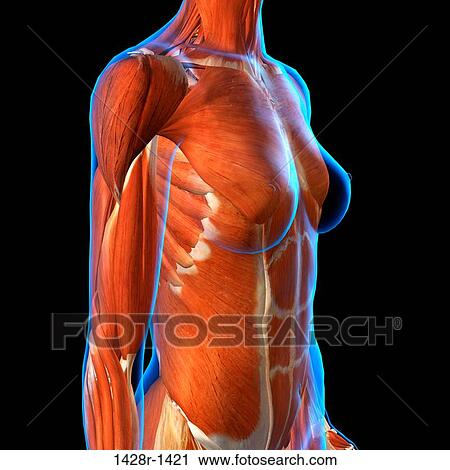 Stock Photography Of Side View Of Female Chest And Abdominal Muscles