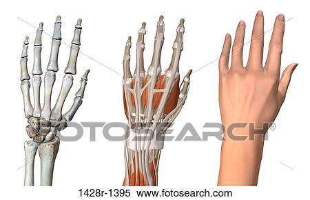 Stock Image Of Three Views Of The Female Hand Anatomy Skeletal