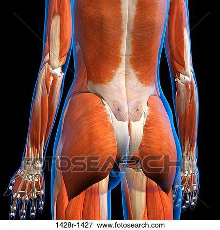 Foto - vista trasera, de, hembra, bajar detrás, músculos, anatomía ...