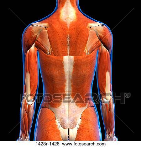 Colección de imágenes - vista trasera, de, hembra, espalda, músculos ...