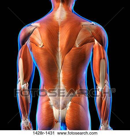 Banco de Fotografías - vista trasera, de, macho, espalda, músculos ...
