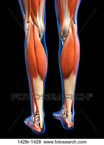 Anatomie Du Pied 3D vue postérieure, de, femme, jambes, et, pieds, muscles, anatomie