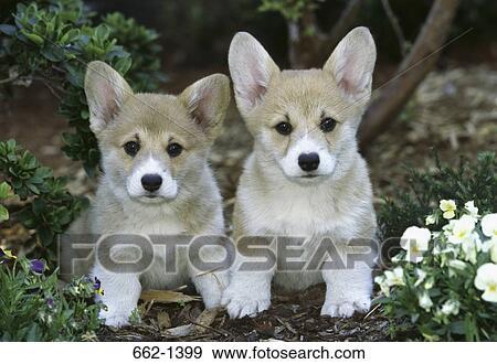 Two Pembroke Welsh Corgi Puppies In A