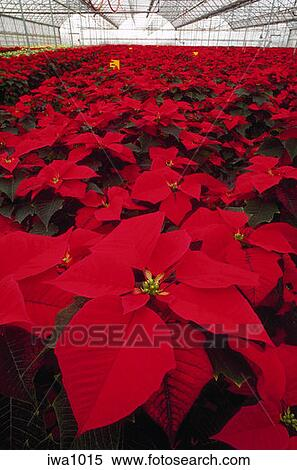 Stock Image View Inside A Hillsboro Oregon Whole Nursery Greenhouse Filled With Red Poinsettia