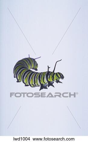 Colección de foto - azul y verde, oruga, larvas, de, mariposa del ...