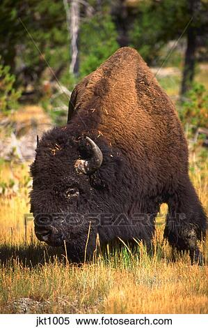 Bison Eating Dried Grass Near Old Faithful Yellowstone