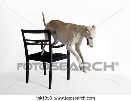Surprising Dog Polish Hound And Chair Mr9018 Stock Image Thk1353 Squirreltailoven Fun Painted Chair Ideas Images Squirreltailovenorg