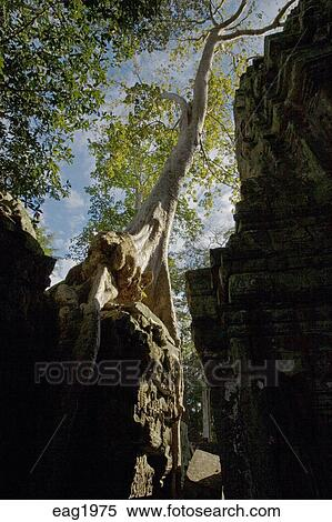 Wat Is Kapok.A Silk Cotton Or Kapok Tree Ceiba Pentandra Grows Over The Khmer Ruins Of Ta Prohm Built By Jayavarman Vii At Angkor Wat Siem Reap Cambodia