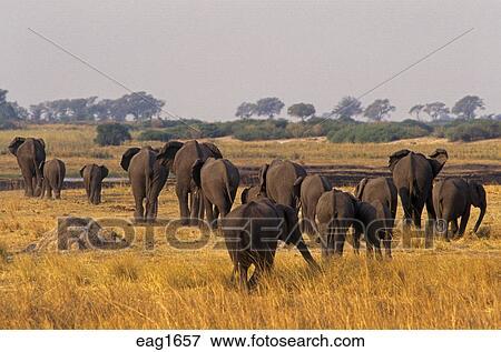 AFRICAN ELEPHANTS (Loxodaonta Africana) are social animals & have a  MATRIARCHAL society - CHOBE NATIONAL PARK, BOTSWANA Stock Photo