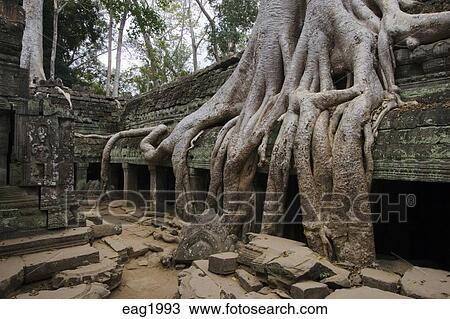 Wat Is Kapok.Silk Cotton Or Kapok Tree Roots Ceiba Pentandra Invades