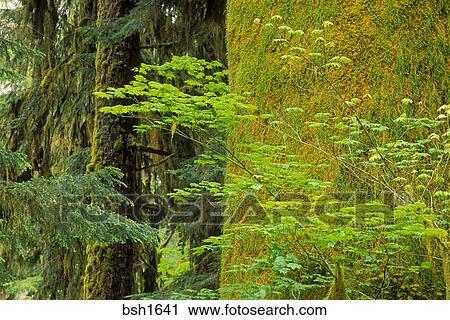 Bigleaf Maple Acer Macrophyllum And Moss Covered Western Hemlock