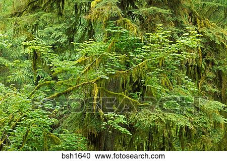 Moss Covered Bigleaf Maple Acer Macrophyllum And Western Hemlock