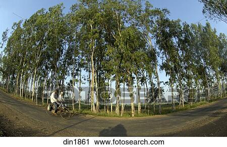 Stock Photography Of Eucalyptus Tree Plantation At Ralegan Siddhi