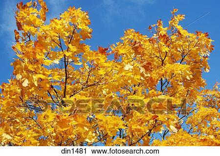 foto de Jaune or, couleur, de, feuilles automne, de, arbre érable, dans ...