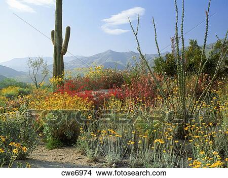 Stock Photo Of Saguaro Cactus And Spring Flowers Below Mountains In