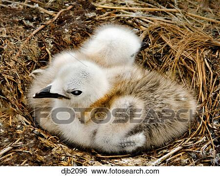 TWO BABY SEAGULL CHICKS IN NEST Stock Photograph