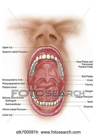 Clip Art - anatomía, de, boca humana, cavity. stk700591h - Buscar ...
