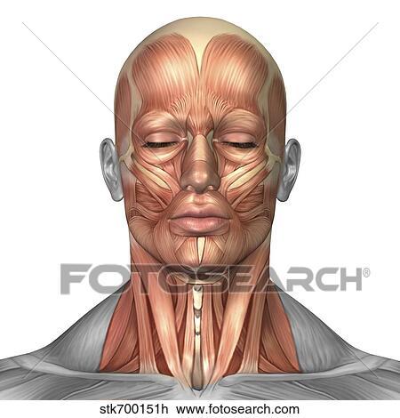 Clip Art - anatomía, de, cara humana, y, músculos cuello, frente ...