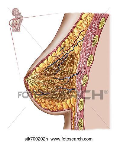 Clip Art - anatomía, de, el, hembra, breast. stk700202h - Buscar ...