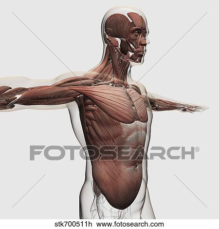 Clip Art - anatomía, de, macho, músculos, en, cuerpo superior, lado ...