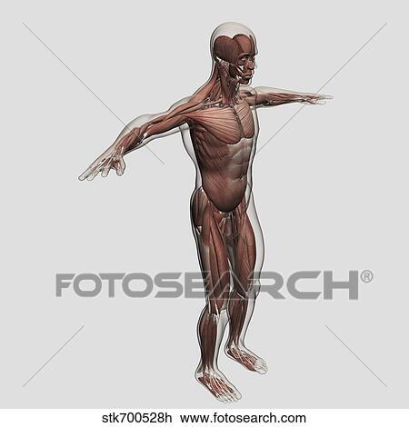 Clip Art - anatomía, de, macho, sistema muscular, lado, vista ...