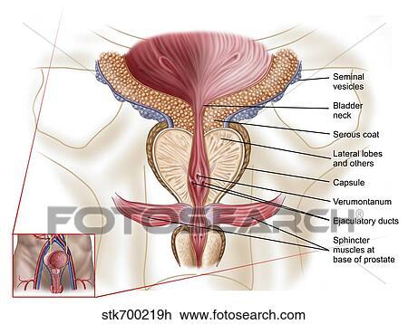 Clip Art - anatomía, de, próstata, gland. stk700219h - Buscar Clip ...