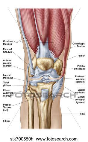 Clipart anatomie de genou humain joint stk700550h recherchez des cliparts des - Dessin du genou ...