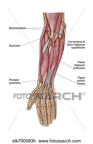 Clipart - anatomie b0964280840