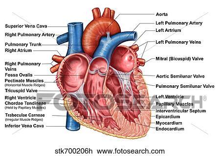 Verbazingwekkend Anatomie, van, hart, binnenste, frontaal, section. Tekening KH-41